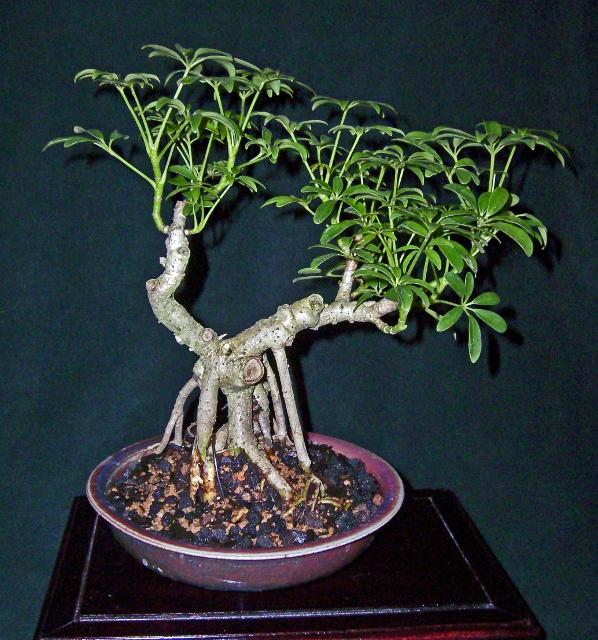 Eagle Creek Bonsai Indianapolis Selling Bonsai Trees Tools Bonsai Pots
